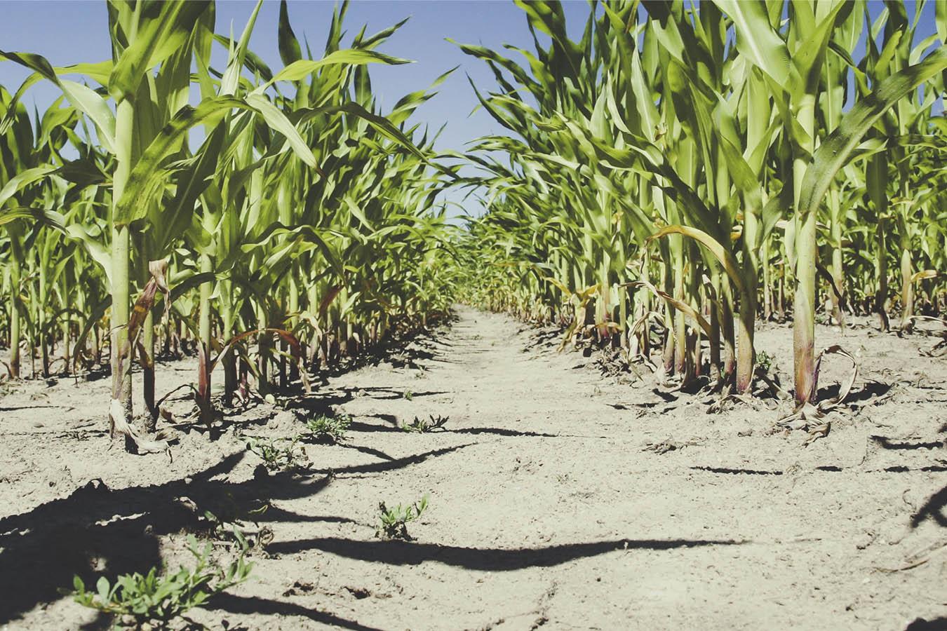 herbicida glifosato herbicida maíz transgénico