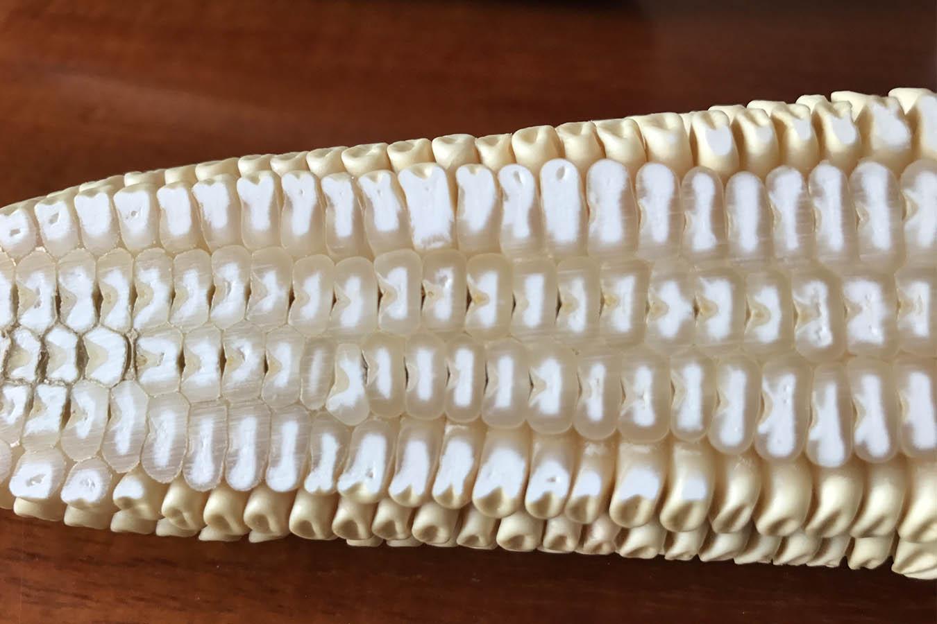 maiz dentado dent corn tipos de maiz maiz criollo maiz mexicano semillas de maiz tipos de granos de maiz