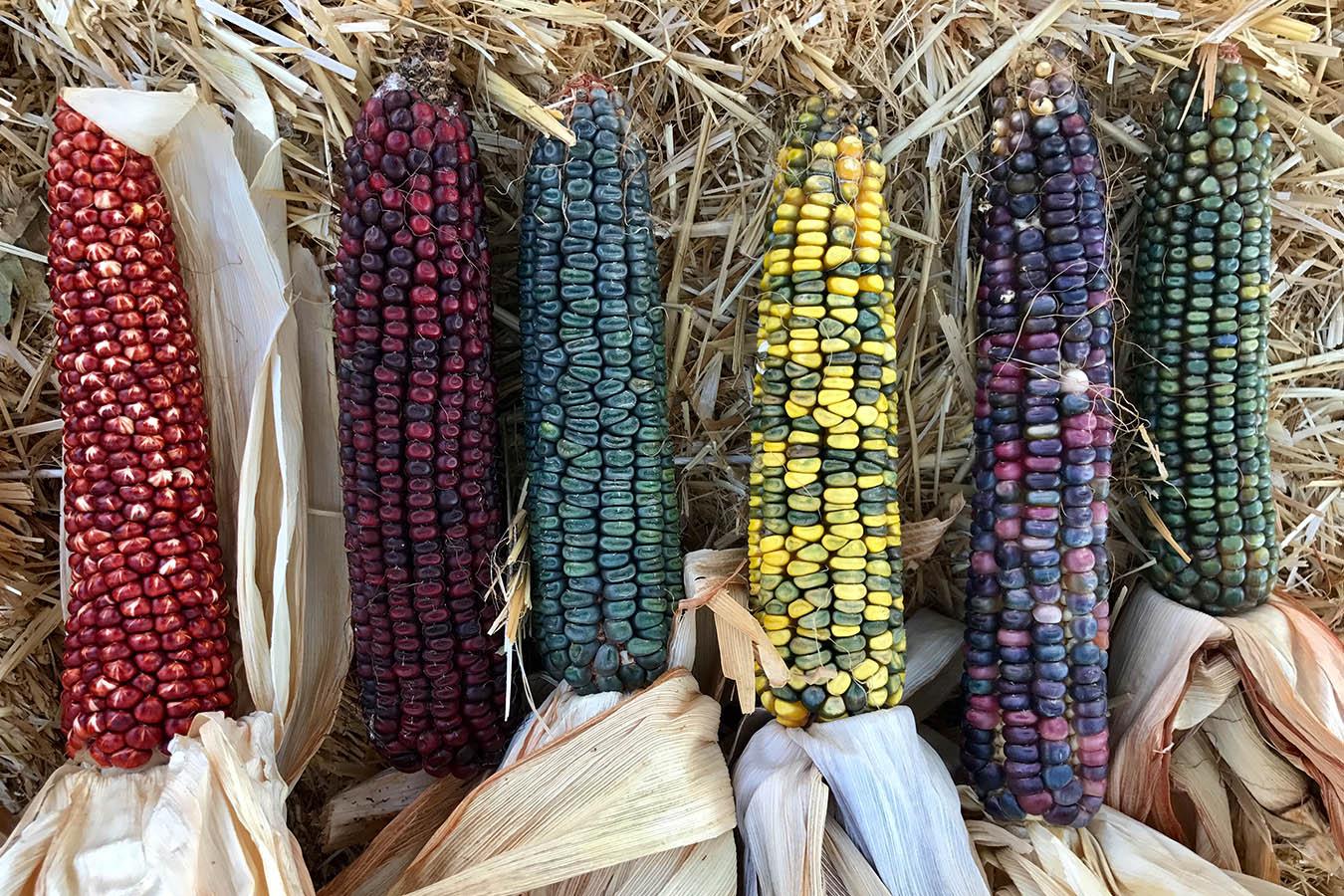 tipos de maiz maiz criollo semillas de maiz maiz estados unidos