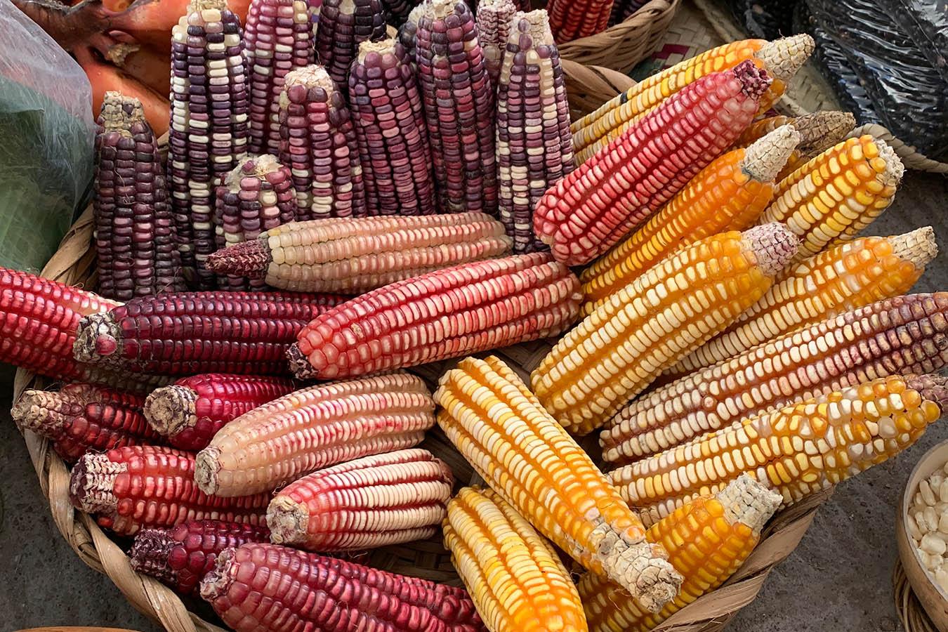 tipos de maiz maiz criollo maiz mexicano semillas de maiz tipos de granos de maiz