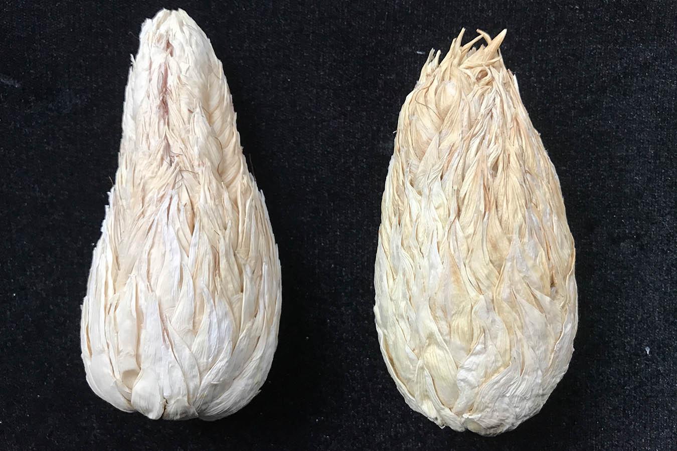 maiz tunicado maiz ajo tipos de maiz maiz criollo maiz mexicano semillas de maiz tipos de granos de maiz
