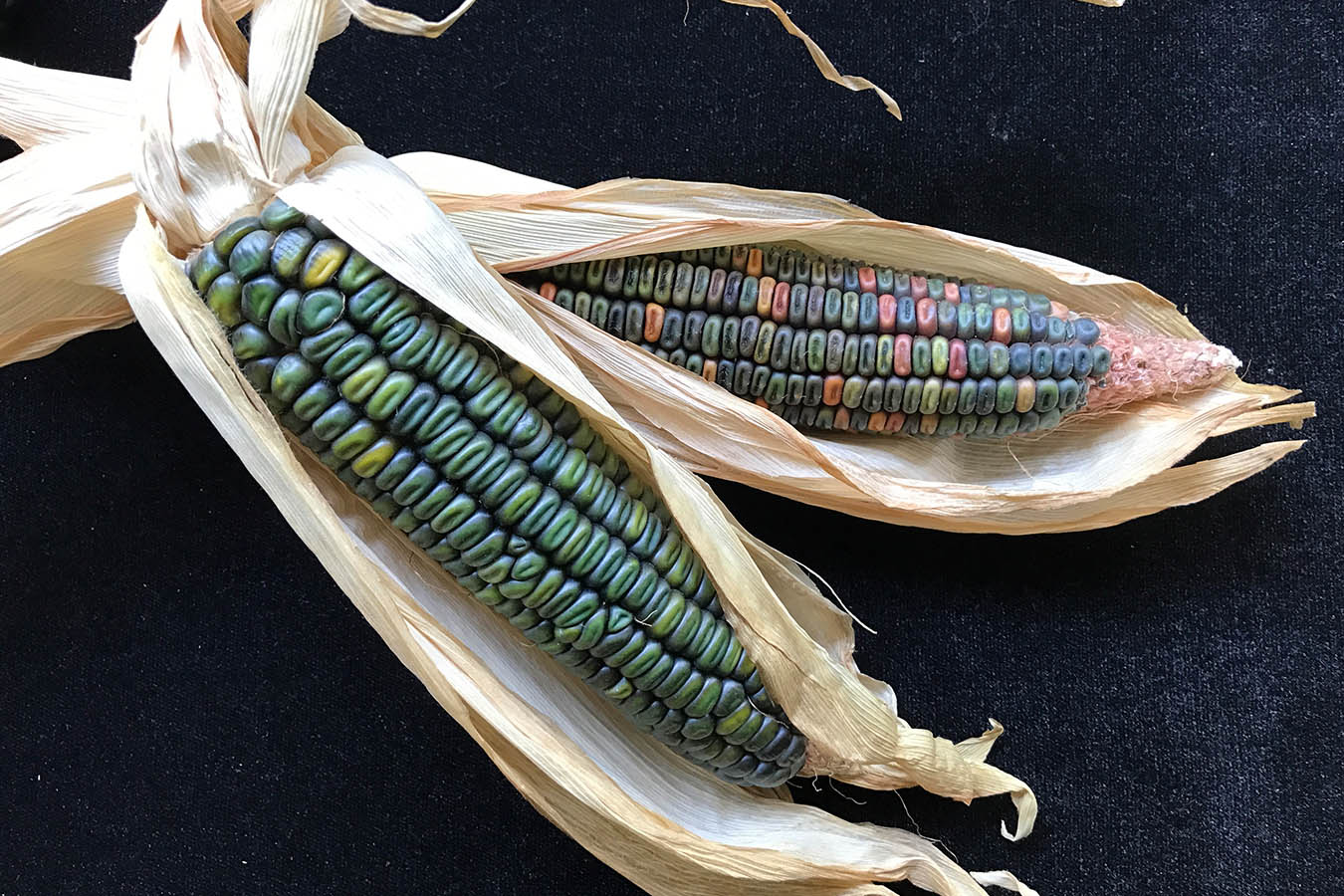 tipos de maiz semillas de maiz green corn oaxaca