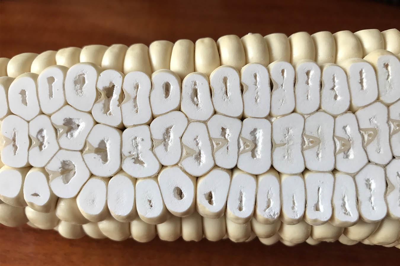 maiz harinoso maiz cacahuacintle tipos de maiz maiz criollo maiz mexicano semillas de maiz tipos de granos de maiz