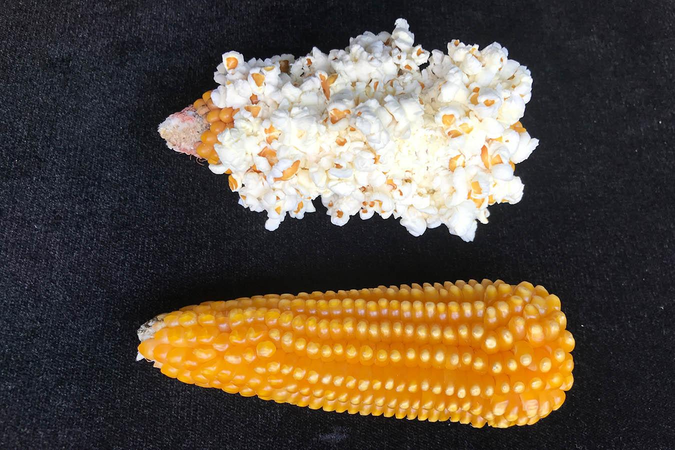 palomero toluqueño tipos de maiz maiz palomero palomitas de maiz maiz criollo maiz mexicano tipos de maiz