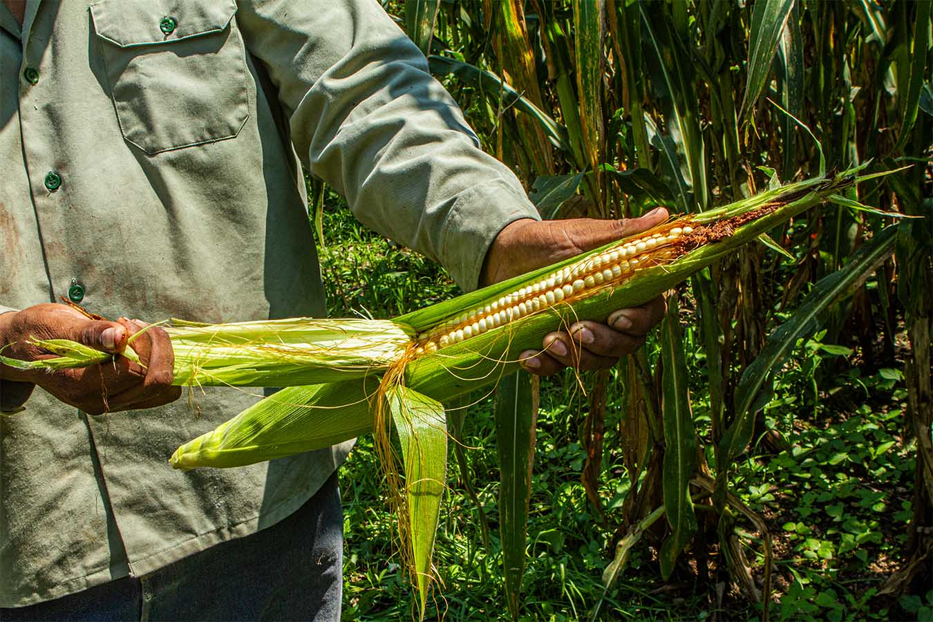 maiz jala patrimonio cultural y biologico de nayarito maiz mas grande del mundo