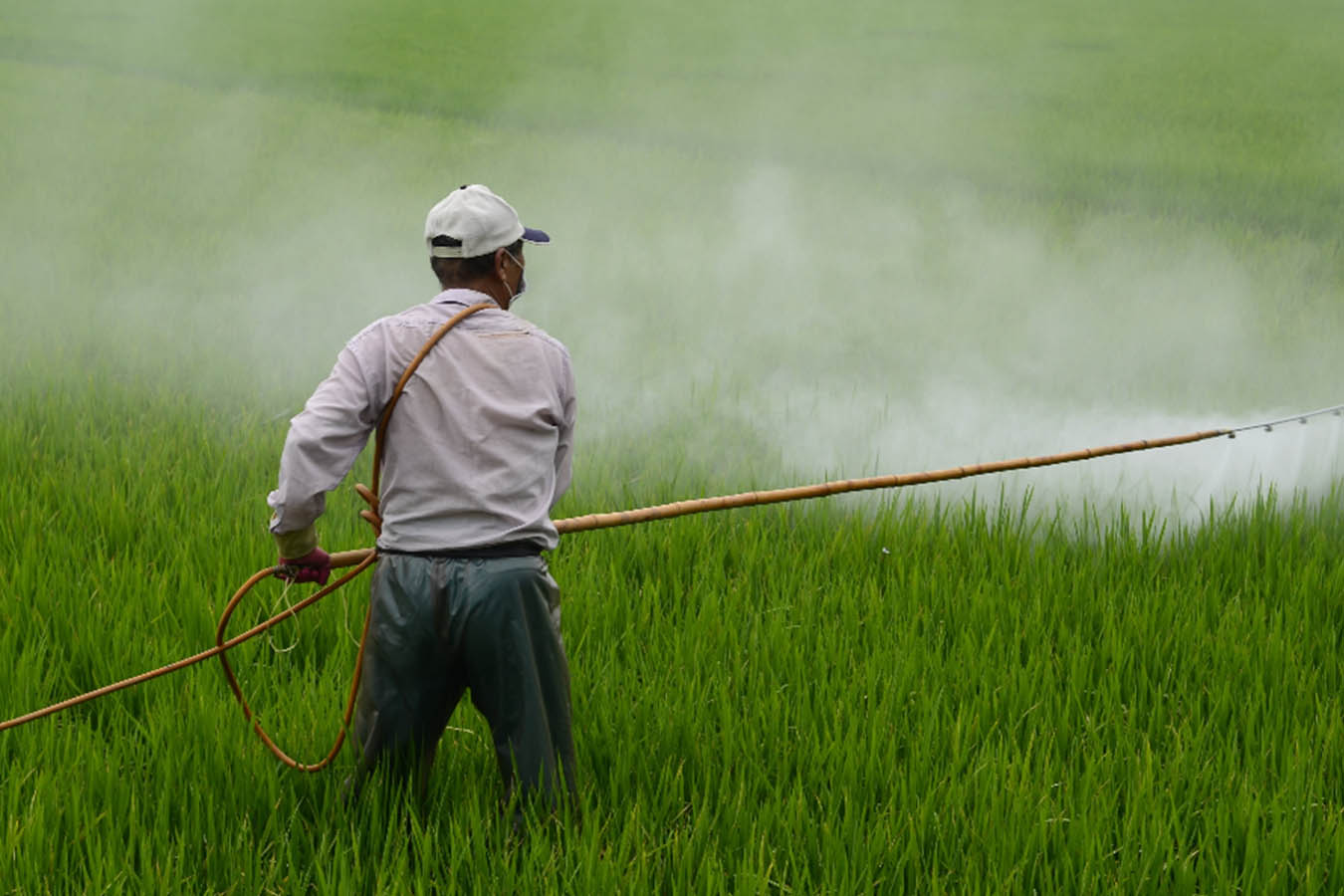 glifosato herbicida pesticida maiz gmo corn maiz transgenico