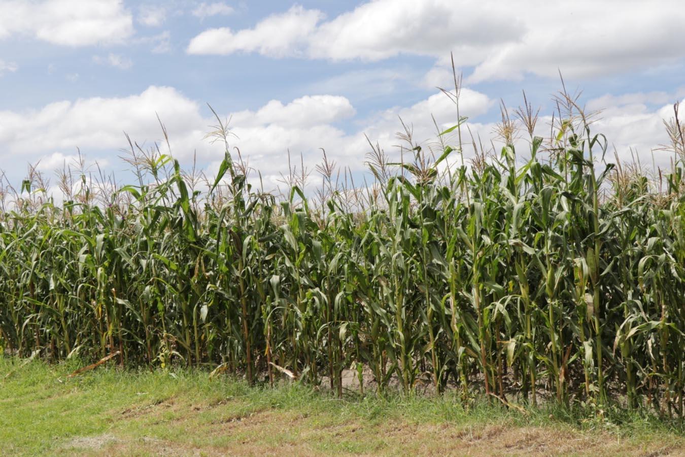 siembra de maiz mejoramiento de suelo dolomita cal agricola calidra productos