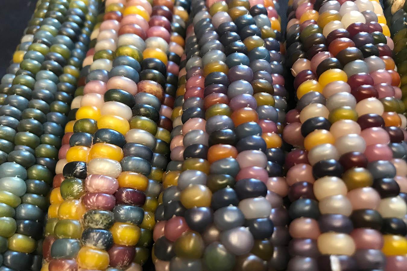 glass gem corn tipos de maiz maiz criollo  semillas de maiz