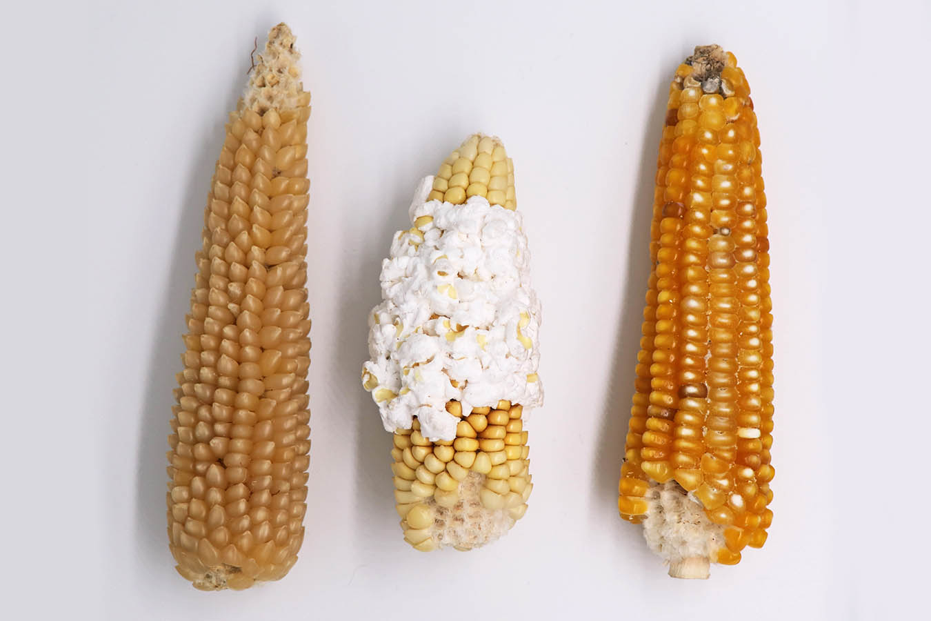 maiz palomero popcorn tipos de maiz maiz criollo maiz mexicano semillas de maiz tipos de granos de maiz